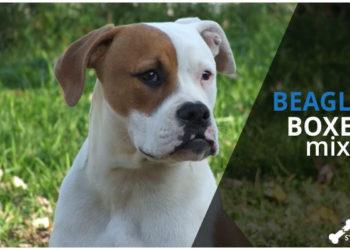 boxer beagle