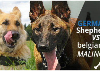 german shepherd belgian malinois featured on dogstruggles