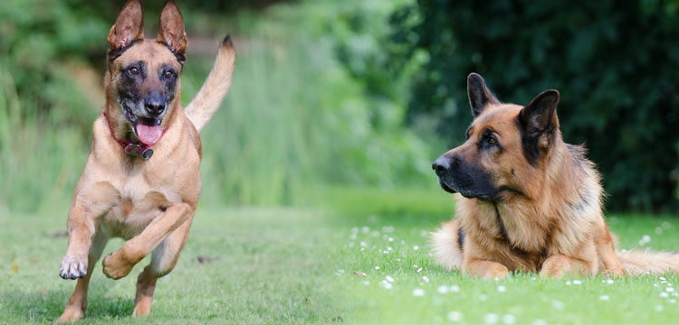 german shepherd vs belgian malinois image 1