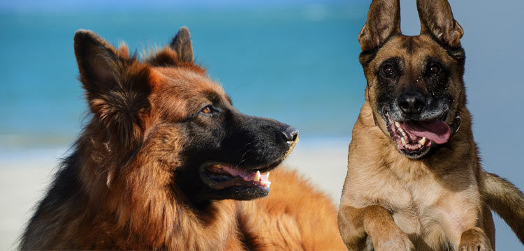 german shepherd vs belgian malinois image 2
