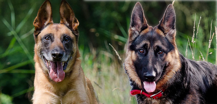 german shepherd vs belgian malinois image 3
