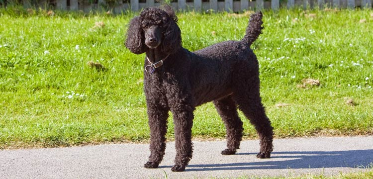 dog-struggles-black-standard-adult-poodle
