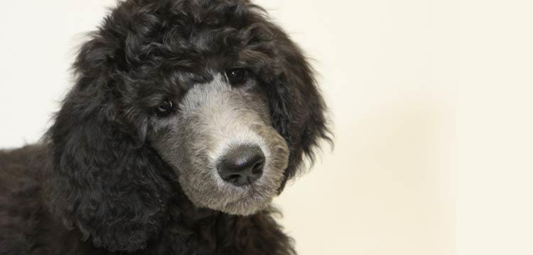 dog-struggles-black-standard-poodle