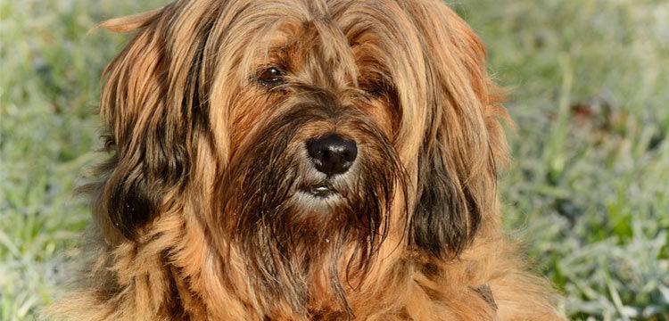 brown long hair dog