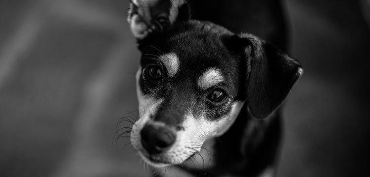 black image dog watching