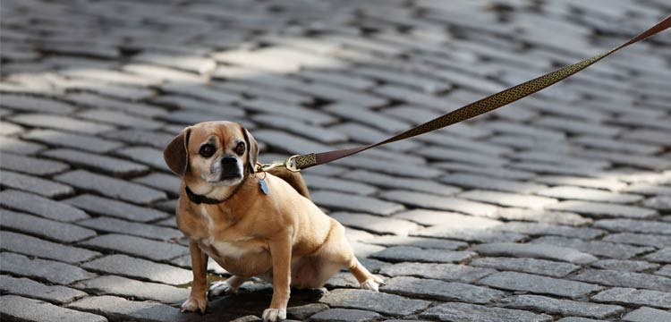 little dog with leash