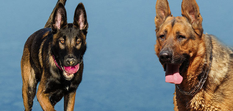 german shepherd vs belgian malinois image 4