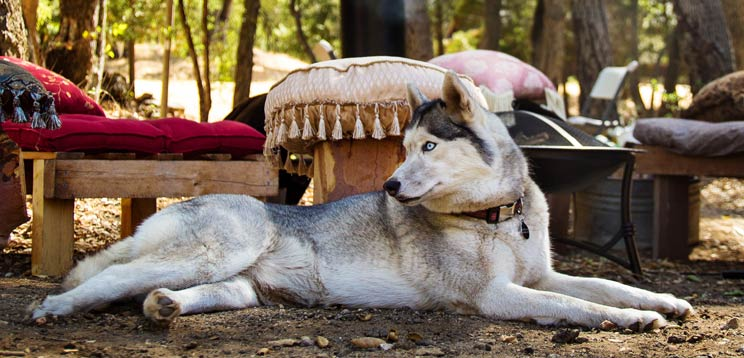 German Shepherd Husky Mix:Traits - Complete Guide in 2019
