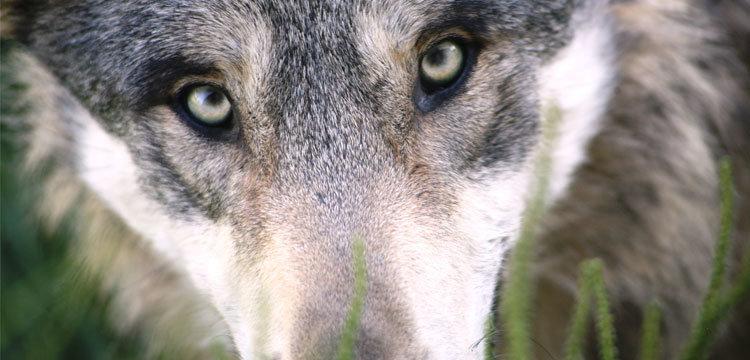 german shepherd wolf focused