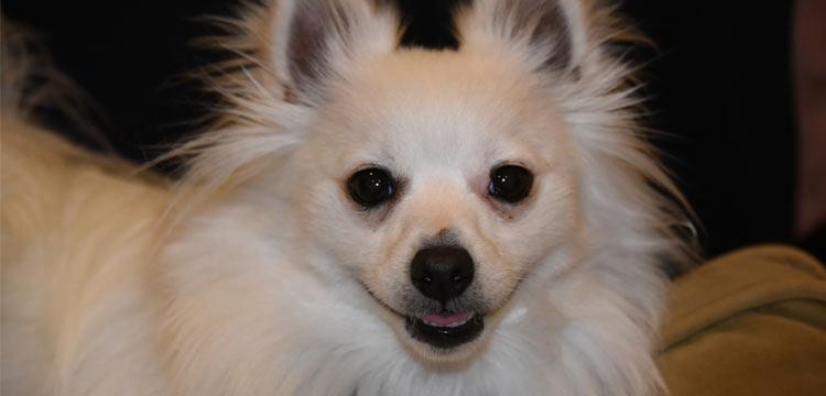 focused pomchi on dogstruggles