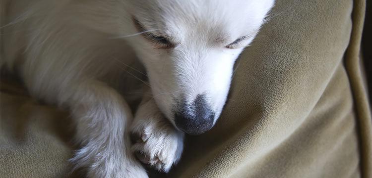 sleeping pomchi on dogstruggles