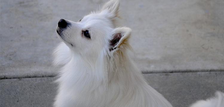 pomchi upset on dogstruggles