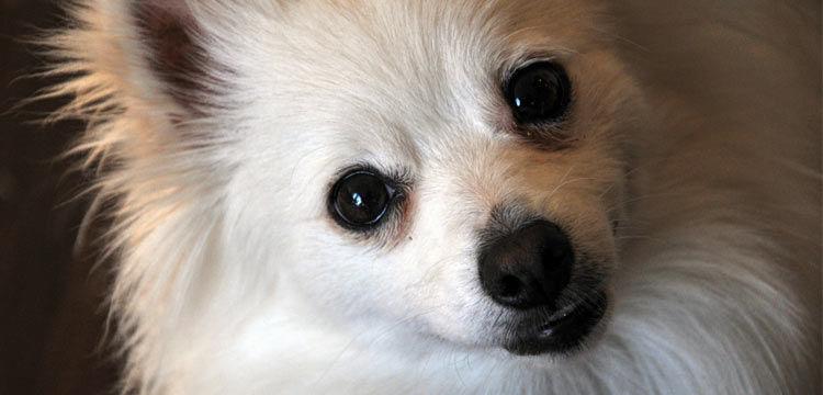 white pomchi on dogstruggles