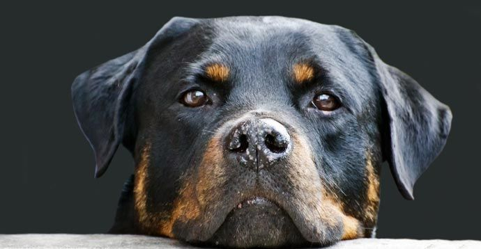 Rottweiler resting its head