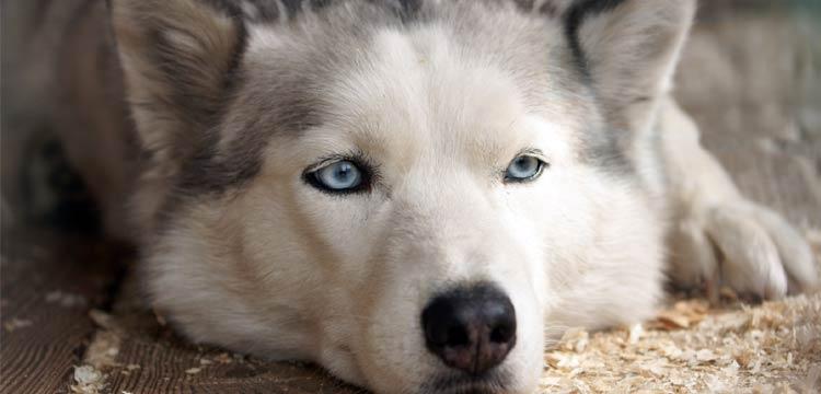dog-struggles-white-husky-tired