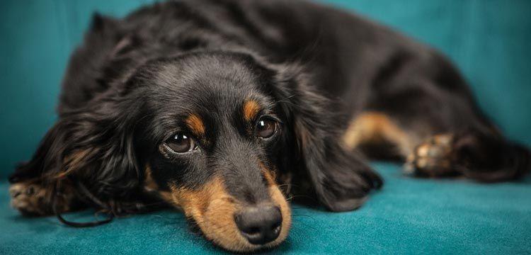 Can Tramadol Lower A Dog S Seizure Threshold