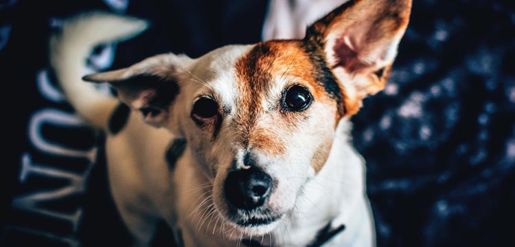 Zyrtec for Dogs: Guide in 2019 | DogStruggles
