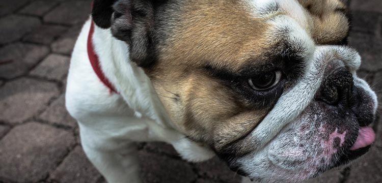 Zyrtec for Dogs: Guide in 2019   DogStruggles