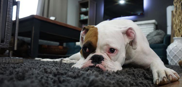 sad white dog on carpet