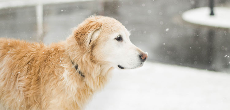 snowing and golden retriever