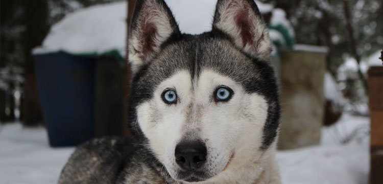 Beautiful husky in the snow