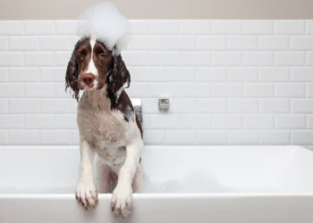 brown and white dog with suds on its head in the bath