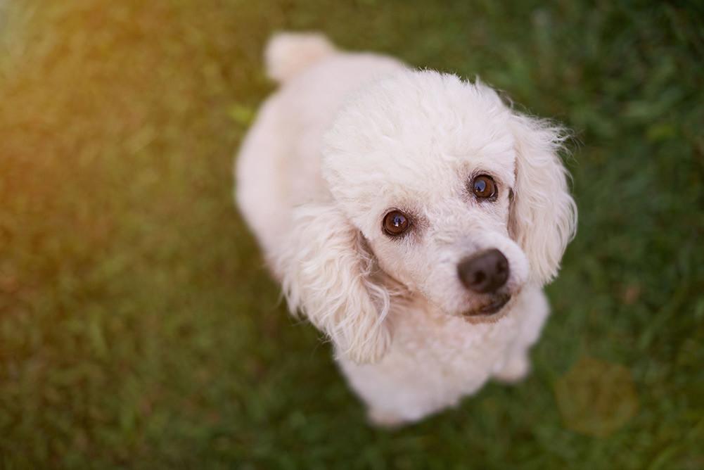 Top 6 Best Dog Foods For Poodles In 2018 Dogstruggles
