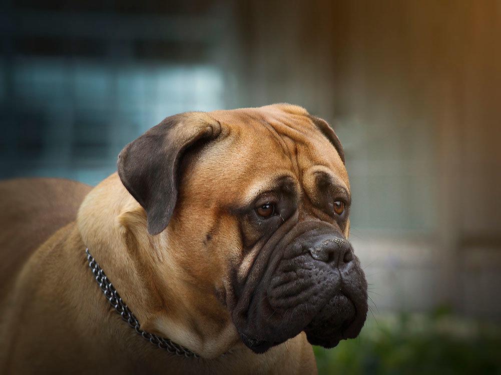 dog bed for english mastiff