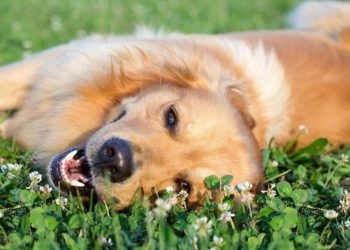 dog smiling, laying in the grass