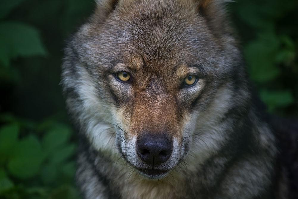 German Shepherd Wolf Mix - Complete Guide in 2019