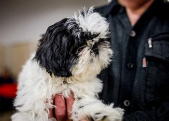 black and white lhasa apso dog