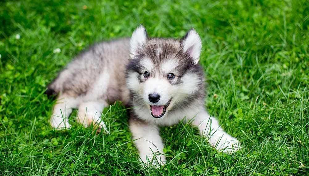 Happy Siberian Husky Day! In South Australia
