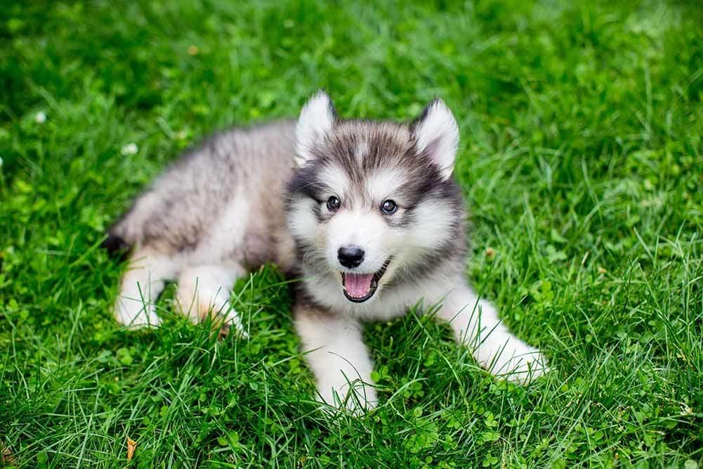 Miniature Husky Complete Guide In 2019 Dogstruggles