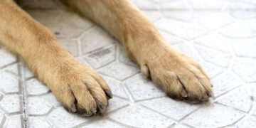 german shepherd paws on the pavement