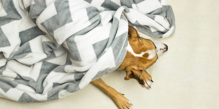pitbull under a blanket