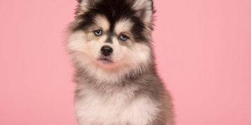 white and black pomsky dog with pink background