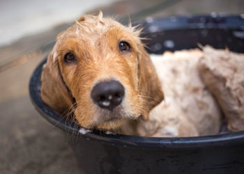 golden retriever enjoying a bath