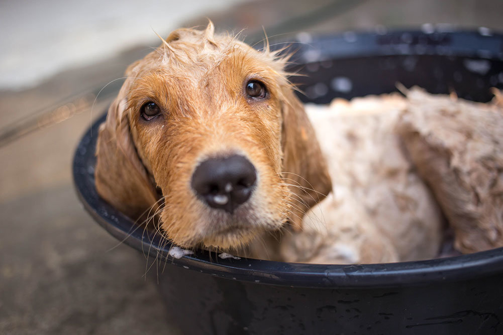 Top 8 Best Dog Shampoos For Golden Retrievers In 2019