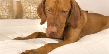 vizsla dog in bed