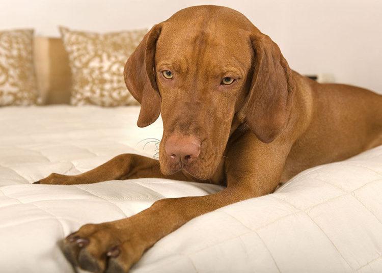 vizsla dog in bed