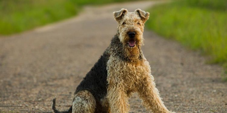 airedale terrier sitting on a gravel path
