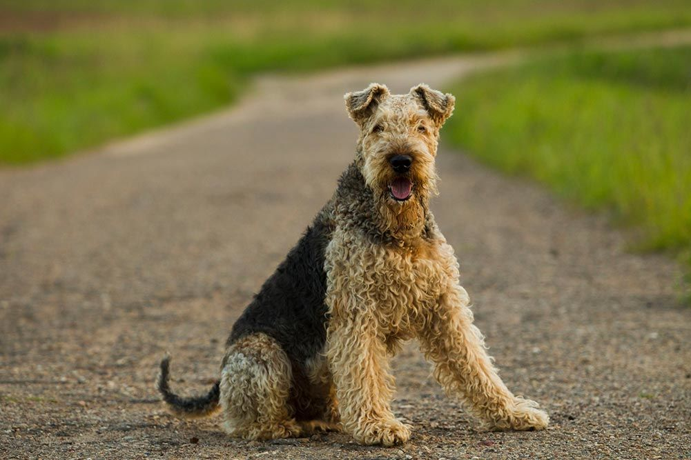 top 5 best dog clippers for airedale terriers in 2018