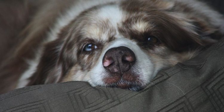 Australian shepherd dog sleeping