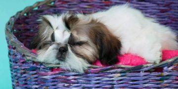 shih tzu sleeping in a purple basket