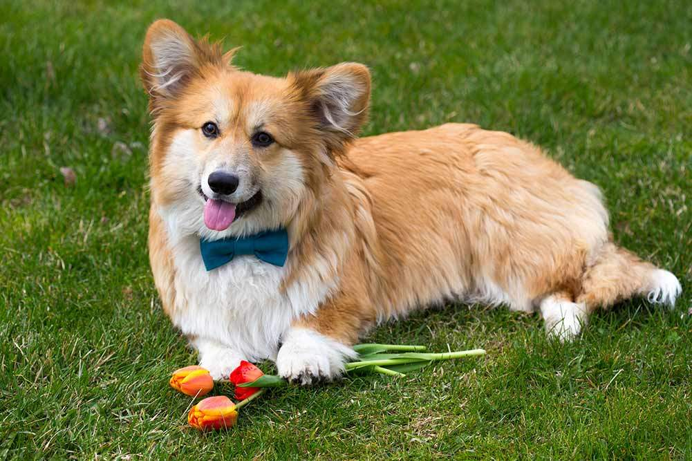 top 5 best dog beds for corgis in 2018 dogstruggles