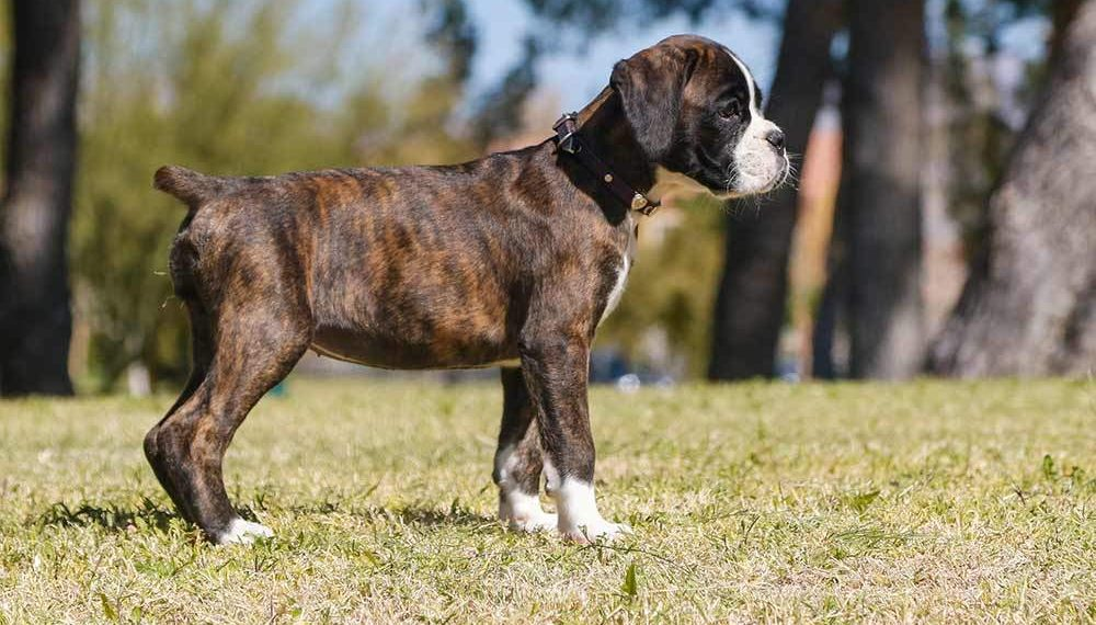 Top 5 Best Foods For Boxer Puppies In 2019 Dogstruggles