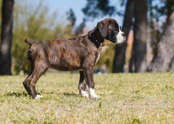 brindle boxer puppy in park