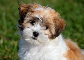 brown and white shichon puppy