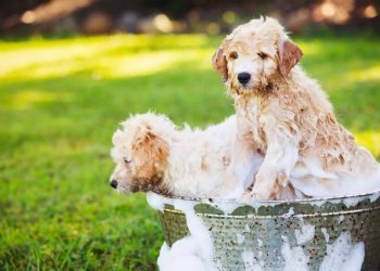two golden doodle puppies enjoying a bath