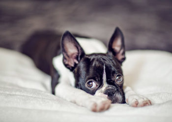 boston terrier laying on a blanket